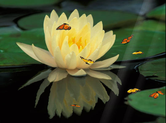 water-lily-screensaver_2_49773.jpg