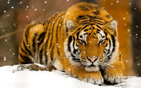 wild-tigers-screensaver_1_50062.jpg