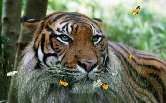 wild-tigers-screensaver_2_50062.jpg