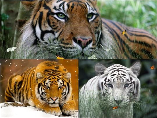 wild-tigers-screensaver_3_50062.jpg